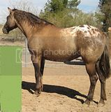 gray appaloosa